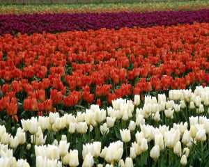T01084 Tulips Red&White